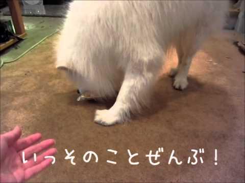 サモエド クローカ 「ウマウマ三択」 (samoyed kloka)