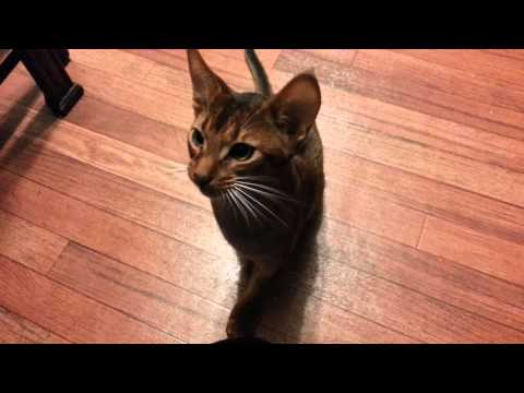 Cute Abyssinian kitten Larry does tricks for treats