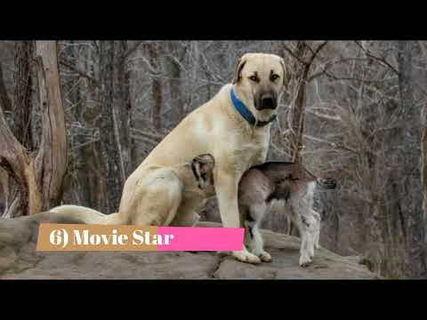 Anatolian Shepherd Dog   Top 10 Interesting Facts