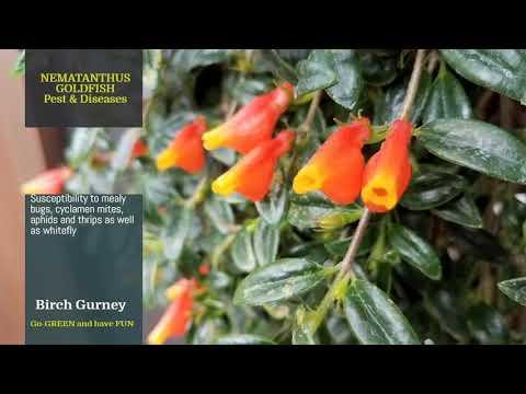 Nematanthus | Nematanthus Tips & Tricks | Nematanthus Care | Nematanthus Plant | Goldfish Plant |
