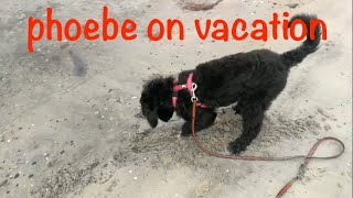 phoebe on vacation  Portuguese waterdog