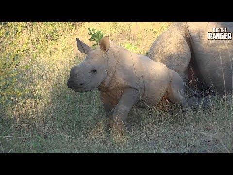 Lovely White Rhino Calf Playing In Africa | Endangered Species Spotlight