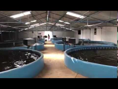 1KG  180DAYS -INDOOR FISH  RAS - India- BASA /PANGUS Fish- Recirculating Aquaculture System-