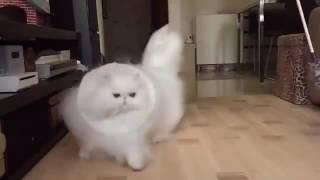 Самый пушистый кот.
