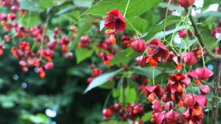 Euonymus planipes video