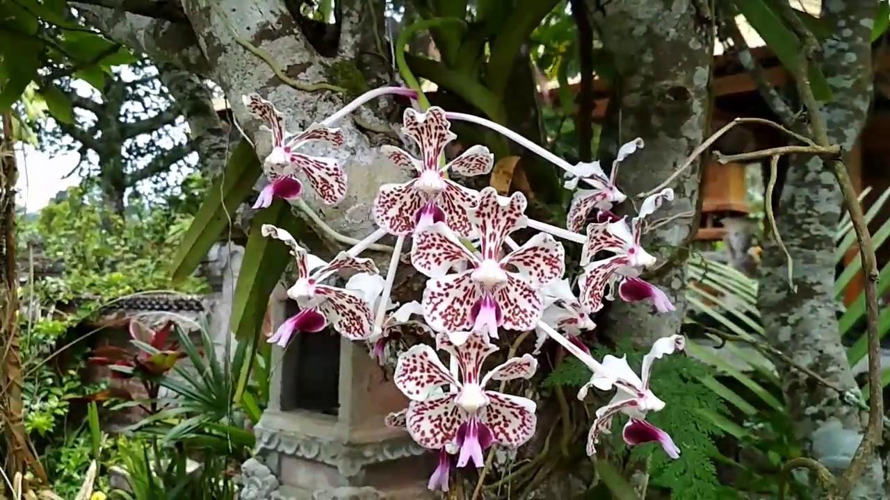Anggrek Vanda Tricolor dari Desa Wanagiri - YouTube