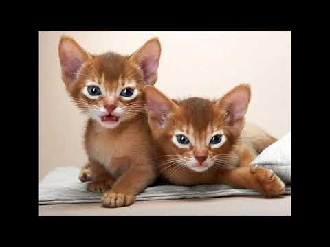 average price for an abyssinian cat