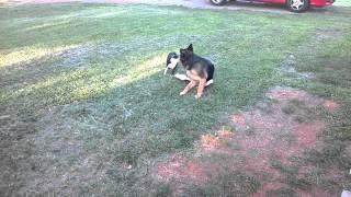 Boston Terrier Vs German Shepherd