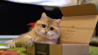 段ボール&猫じゃらしでいつもよりアグレッシブ。猫のホシコさん、元気よく運動する