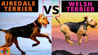 Airedale Terrier vs Welsh Terrier  Breed Comparison ( includes Characteristics, Health & Life Span)