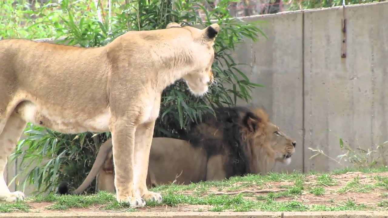 Lions ROAR at the National Zoo - YouTube - photo#9