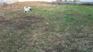 Maltese X Shihtzu & Jack Russell X Cavalier Playing