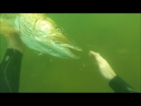 Thumbnail: SCUBA Diving A Freshwater River And Petting A Muskie