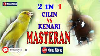 Gambar cover CILILIN VS KENARI masteran andalan kicaumania