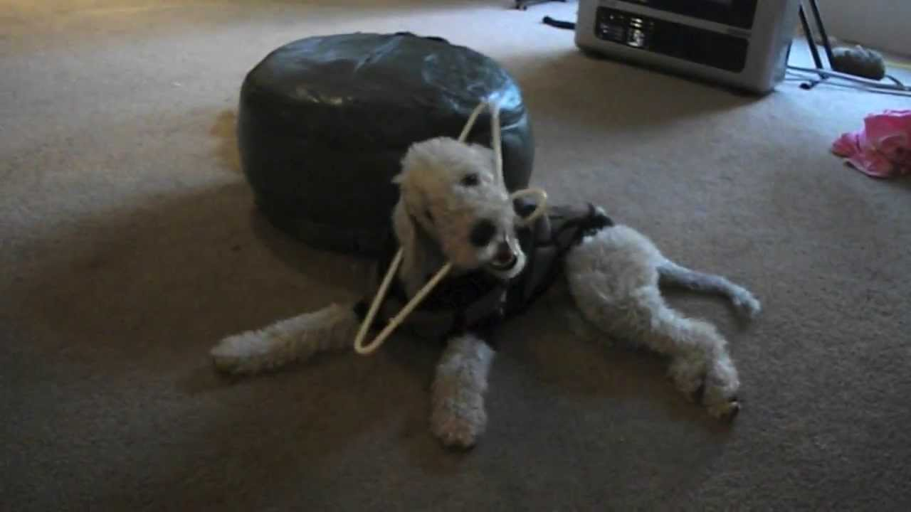 Bedlington terrier Beau chewing coat hanger. Delightfull. - YouTube