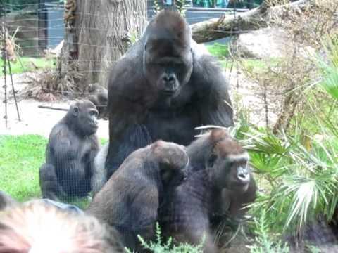 Gorillas mating at Artis zoo Amsterdam - YouTube