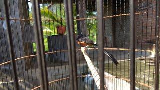 Cara MENGHILANGKAN LEMAK pd burung Murai Batu sebagai berikut :.... lemak hilang produktif lancar...