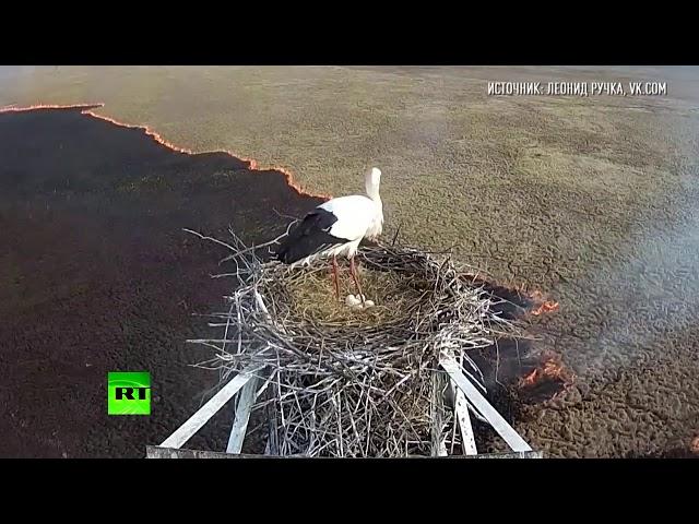 Камера в гнезде редкого аиста засняла распространение пожара в Амурской области