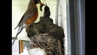 Baby Robin Growing - 18 Days In 6 Minutes