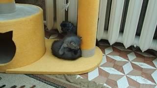 Сибирская кошка. Котятам 1 месяц. Лазилка пошла в дело!