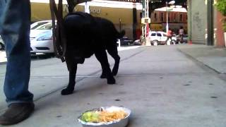 Teach Dog Not To Eat Off Sidewalk Or Ground....peter Caine, Brooklyn Dog Training Brooklyn