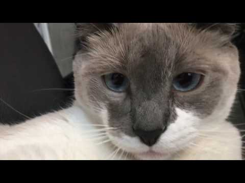 my siamese cat coconut being cute for 2 minutes