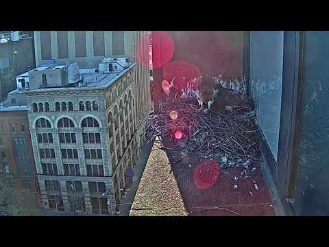 Washington Square Park Hawks: Bobby and Sadie nest action from March 10th & 11th, 2018