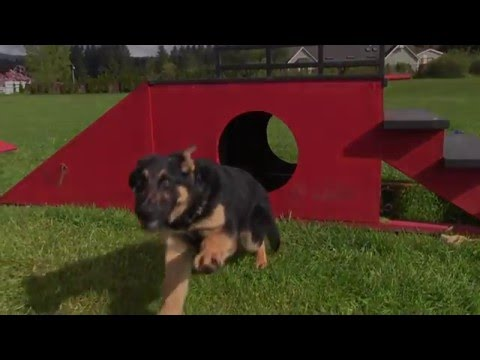 watch-obedience-training-and-agility-with-our-4-month-old-male-german-shepherd-for-sale