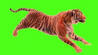 tiger run || green screen video || tiger green screen || green screen tiger