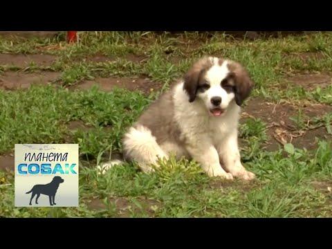 Московская сторожевая собака: описание щенков русской породы