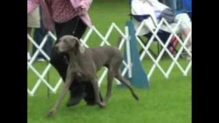 7 Year Old Weimaraner Eva's Last Best Of Breed Competition