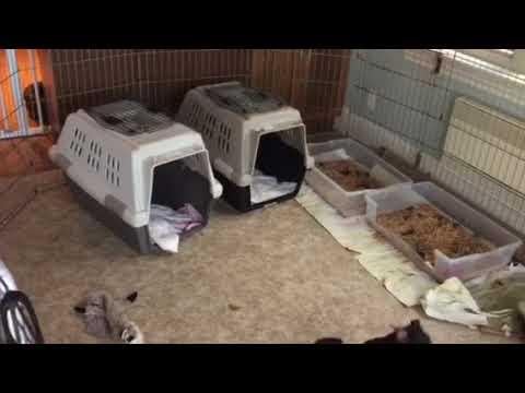 Tidewalker Australian Terrier litter box at ten weeks gong well