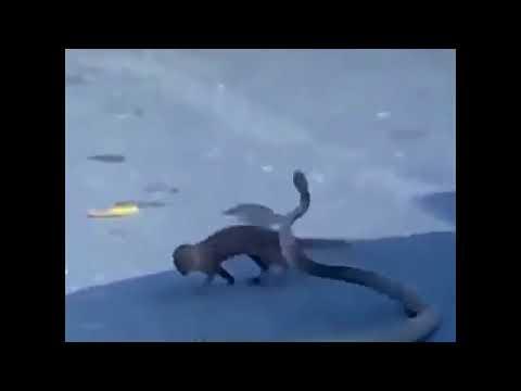 Mongoose vs Cobra Snake   Animal attack fight Video Compilation360p