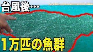 台風後の漁港に魚が大量発生しました