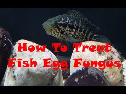 Preventing Fish Egg Fungus