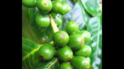 Where to buy green coffee bean in montreal