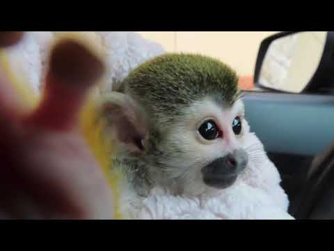 Baby Monkey Starbucks Drive through fail