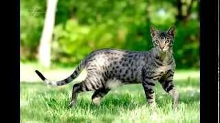 Саванна часть №2 (самая дорогая кошка)