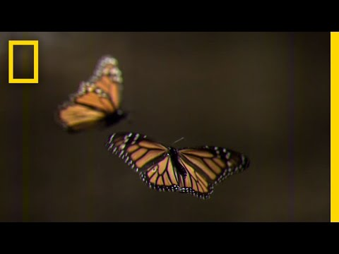How to Create Your Own Monarch Butterfly Rest Stop | National Geographic