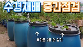 수경재배 중간점검 및 오이 추가로 심기-[콘크리트 팜]