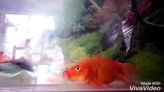 chép coi đỏ vảy rồng bạch kim đuôi phượng  バタフライコイ