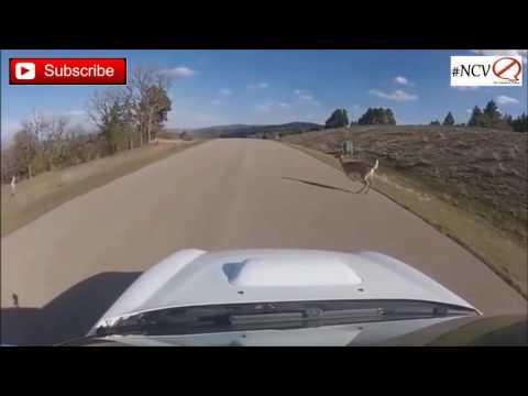 Deer Vs Cars Compilation