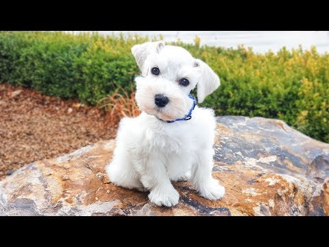 so-cute!-white-miniature-schnauzer-puppy-in-training---jackson-2-weeks-training