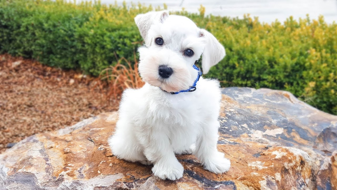 White Miniature Schnauzer Puppy In