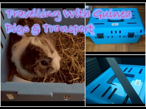 Travelling with Guinea Pigs | How to safely transport a Guinea Pig