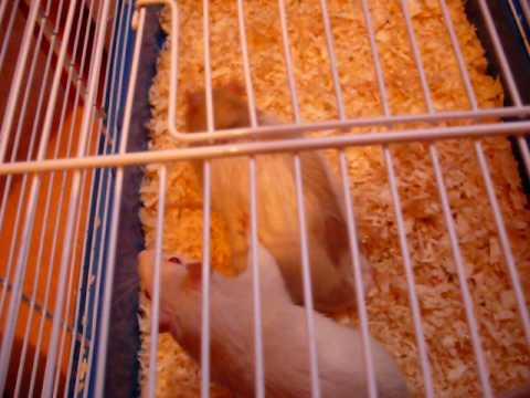 Accouplement rats