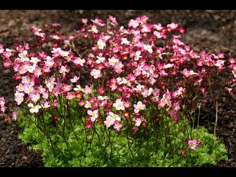best perennials for sun  saxifraga 'triumph' arend's saxifrage, Natural flower