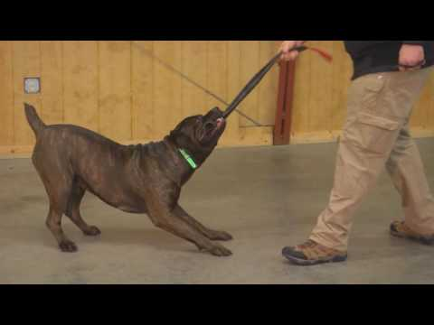 "Protection Dog Training Other Breeds"" Ace"" Cane Corso Personal Protection Dog For Sale"