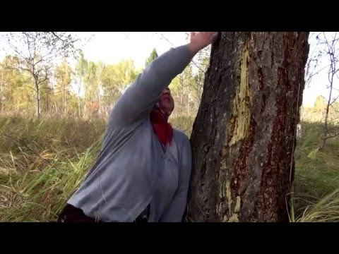 Лиственница: применение (Применение / Лесные породы