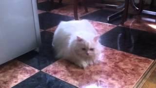 Кошка бегает за своим хвостом. The cat chases its tail